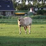 Paarden Den Bommel