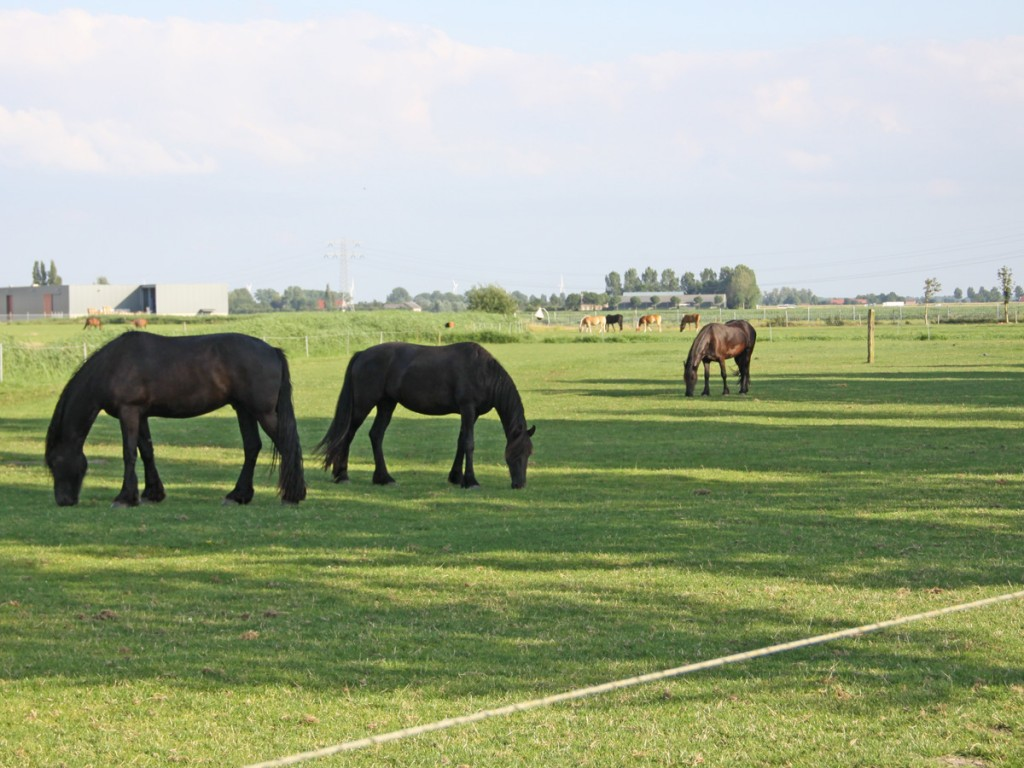 Paarden in de wei bij boerderij 't Anker, Den Bommel, Flakkee